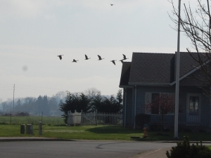 The tail end of a huge flock of geese.